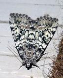 8877 -- Connubial Undering Moth -- Catocala connubialis