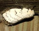 8318 -- Gypsy Moth -- Lymantria dispar (female)