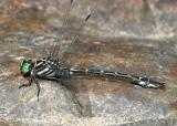 Arrow Clubtail - Stylurus spiniceps (male)
