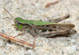 Pasture Grasshopper - Orphulella speciosa