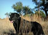 Asia My Labrador Retriever