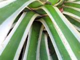 agave 1.jpg