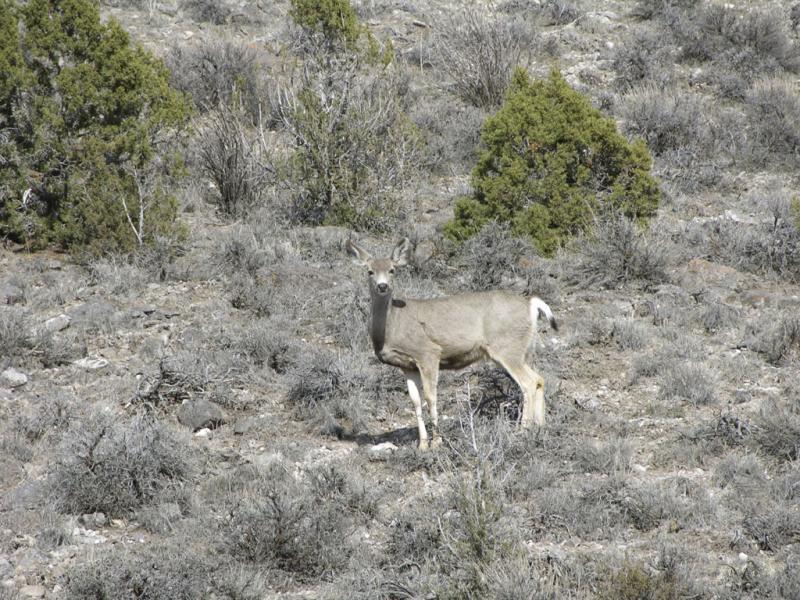 Mule Deer, Arbon Valley DSCN0208.jpg