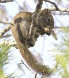 Red Squirrel eating Aspen Bloom P4040042.jpg