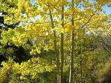 Fall foliage (aspen), Crestline Trail Nikon Coolpix 045.jpg