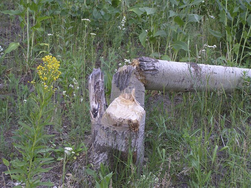 Beavers work Olymposbild 002.jpg