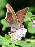 coyote cloudywing
