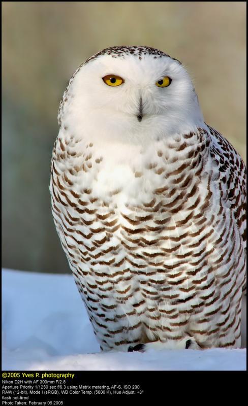 DGreat Snow Owl ...