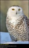 DGreat Snow Owl ...