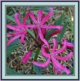 Nerine filifolia
