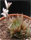 Haworthia - shows plant