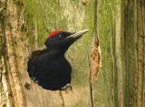 Blackwoodpecker.jpg