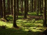 Tannenwald im Frühling