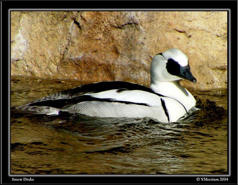 Beautiful Duck...Photographers Nightmare
