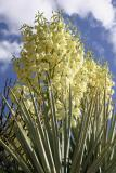 Soaptree Yucca #2