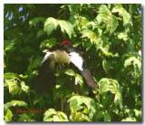 redhead-feeds-baby birds.jpg