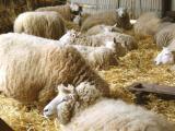 lambing ewes