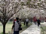Cherry Blossom at the Fasting Palace