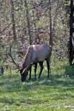 Elk in Colorado 2004