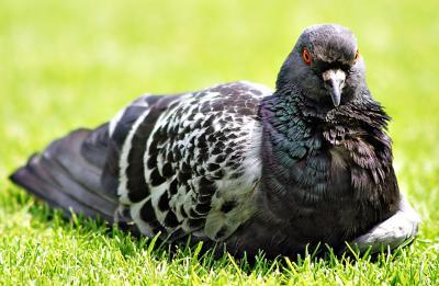 Pigeon, Paris