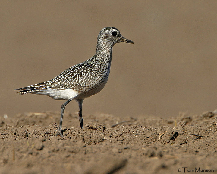 Black Bellied-Plover