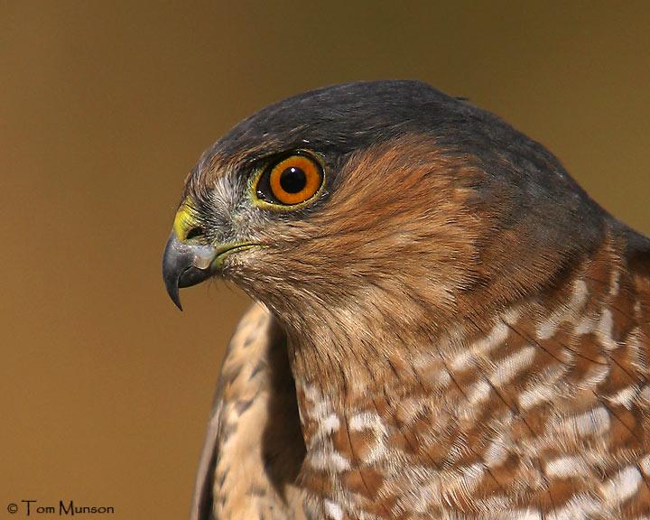 Sharp-Shinned Hawk   (captive)