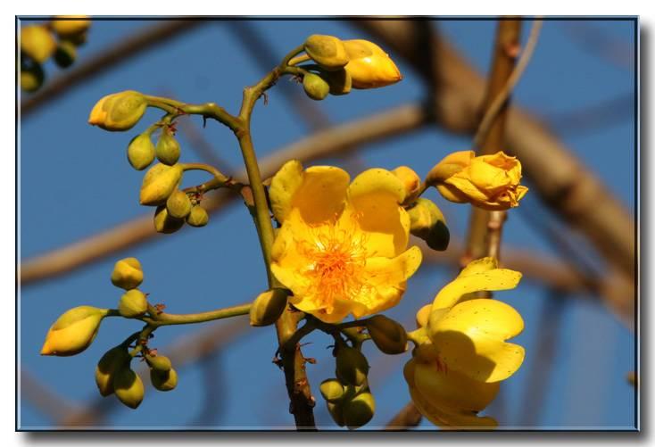 Buttercup tree, Poroporo