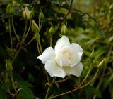Wet White Rose.jpg