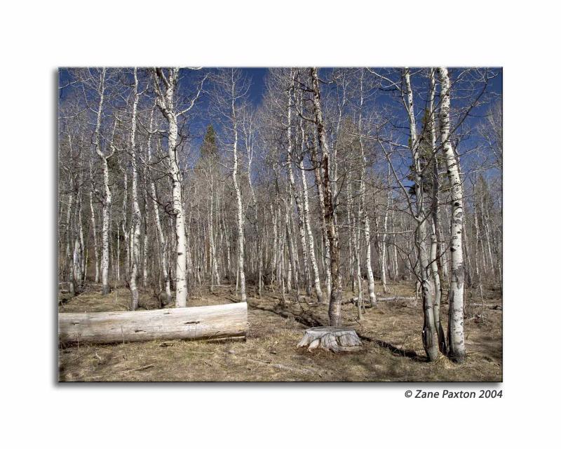Birch Forrest