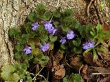 Ground Ivy, Gill over the Ground, Creeping Charlie