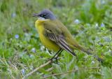 Ashy-headed Yellow Wagtail (Motacilla flava ssp cinereocapilla)