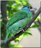 Blue-throated Barbet