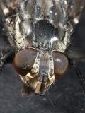 Housefly 0083 (V36)