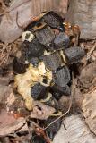 Weird beetles 0095 (V41)