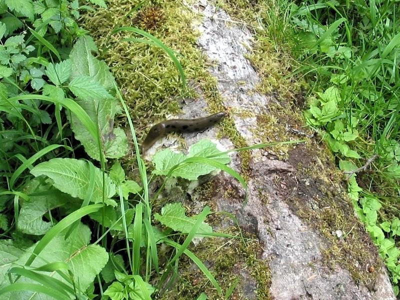 Spotted Slug
