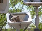 Mourning dove found nice nest spot
