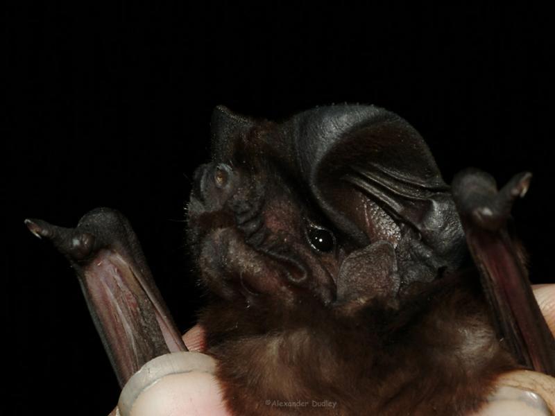 White-striped Mastif Bat