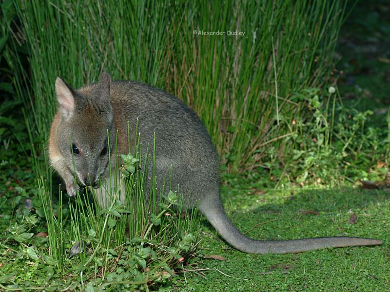 Red-necked Pademelon, (Thylogale thetis)