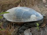 Northern Long-necked turtle, (Chelodina rugosa)