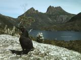 Currawong and Cradle Mountain
