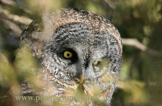 Great Gray Owl peers from behind foliage
