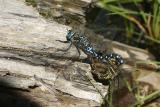 blue & geen mating