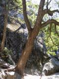 Oak Tree [D]
