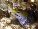 Yellowheaded moray eel