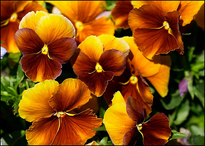 Yellow Mahogany Pansies