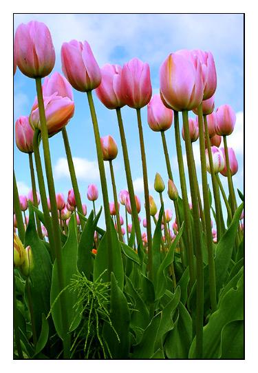 TulipFest179_RT8-copy.jpg