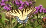 Eastern Tiger Swallowtail (Papilio glaucus) (female)