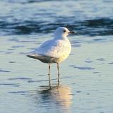Mew Gull, leucistic adult