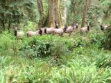 Deer, Hoh Rain Forest, Olympic National Park