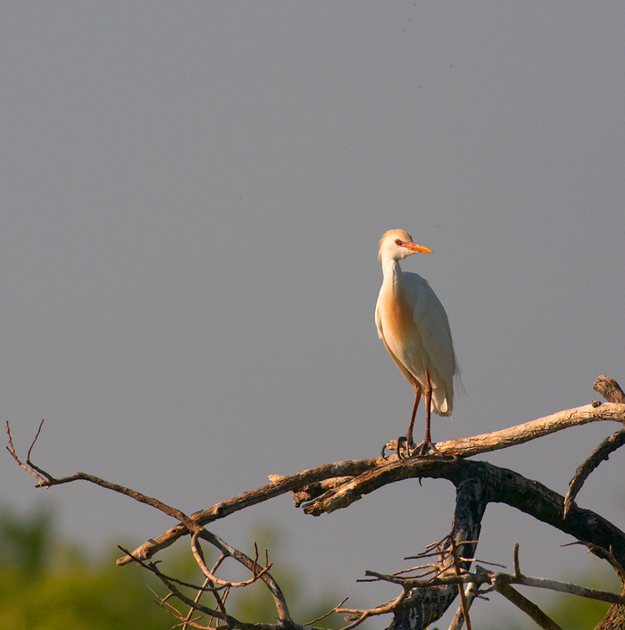 cattle egret. breeding plumage